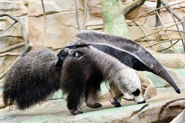 Zoo w Brookfield ma nową atrakcję.