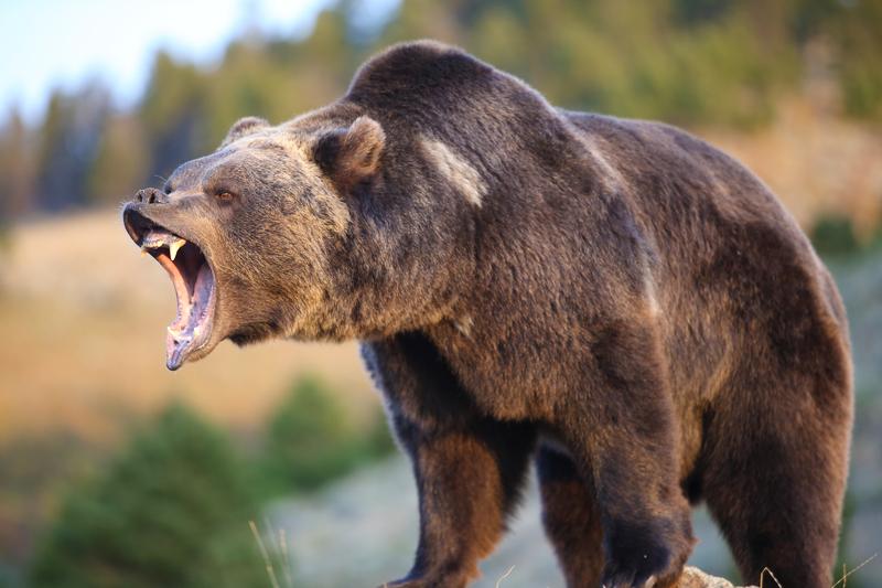 Na Kamczatce niedźwiedź poranił turystkę z Francji