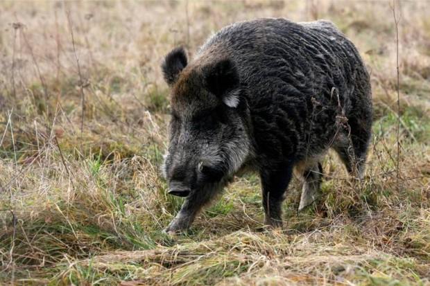Wirus afrykańskiego pomoru świń u dzików – potwierdzono 4 przypadki