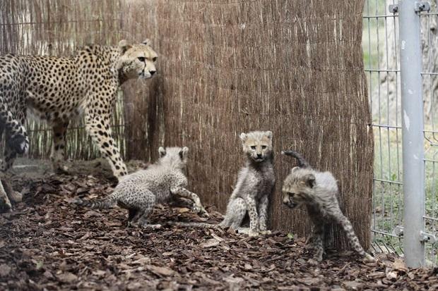 W ogrodzie zoologicznym w Opolu przyszły na świat gepardziątka – ośmioraczki!