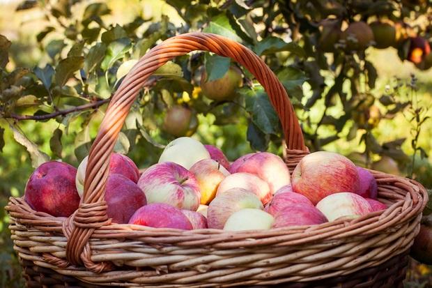 Świętokrzyskie: Europejskie Święto Jabłka w Obrazowie.