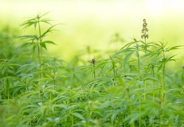 Licencja na sprzedaż marihuany. Rewolucja w Seattle