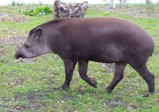Zoo w Zamościu ma nową lokatorkę. To samica tapira
