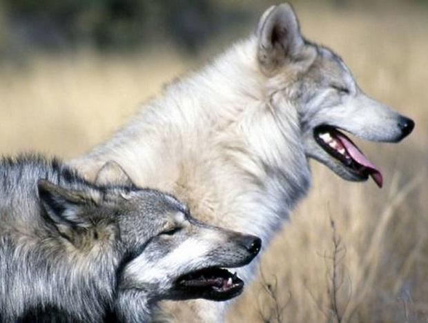 Wilk z Michigan złapany i przetransportowany