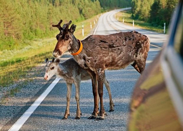 Uwaga na zwierzęta leśne na drodze!
