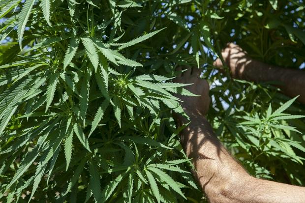 Holenderski parlament za legalizacją uprawy marihuany