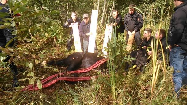 Koń tonął w bagnie. Nietypowa akcja ratunkowa w Poznaniu