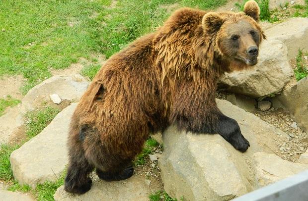 Myśliwi nie będą mogli kusić niedźwiedzi czekoladą