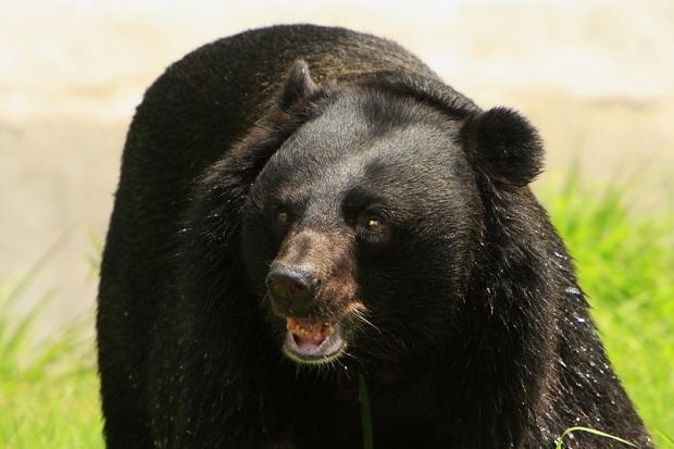 Do 2019 r. nie będzie polowań na niedźwiedzie na Florydzie