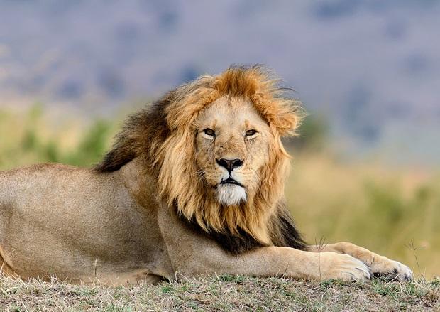 Ugryziony przez lwa złodziej dostał zakaz zbliżania się do zoo