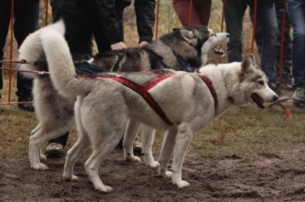 Wataha Cup – wyścigi psich zaprzęgów po raz 8. w Polsce