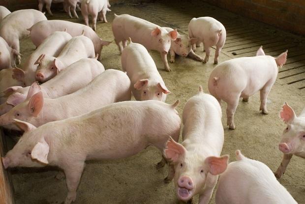 Będzie pomoc dla producentów mleka i trzody chlewnej