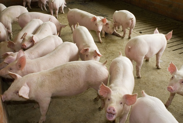 Afrykański pomór świń na Podlasiu