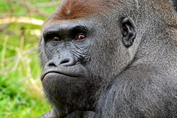 Pracownik zoo spadł na wybieg dla goryli