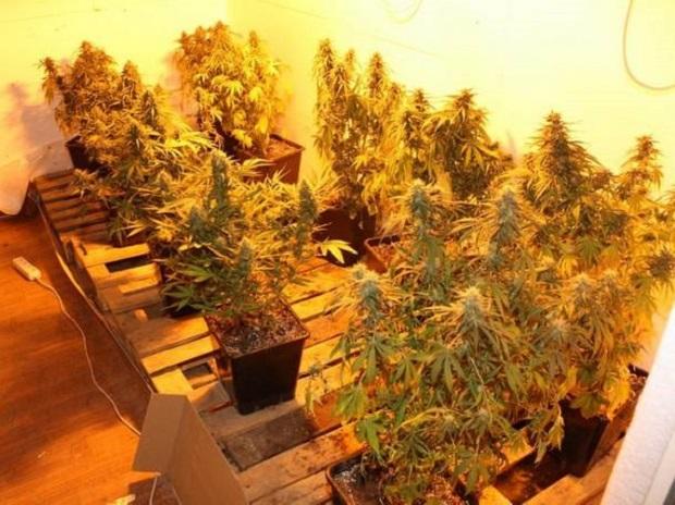 Plantacje marihuany w Nowym Tomyślu. Trzech mężczyzn zatrzymanych