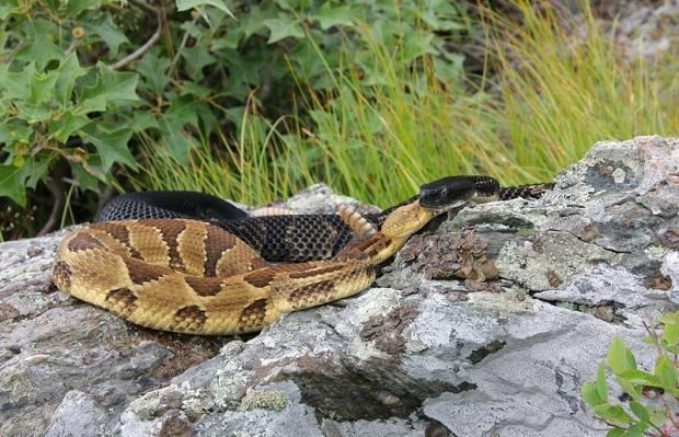 Wyspa węży w Massachusetts. Chcą na niej umieścić 150 grzechotników