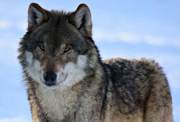 Spór o wilki. Władze boją się rozlewu krwi