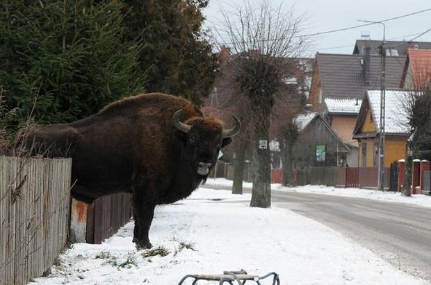 Żubry na ulicy w Białowieży!