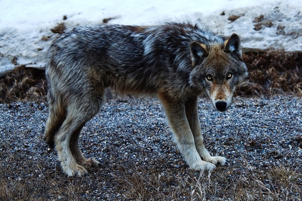 Kolejny wilk zastrzelony w stanie Waszyngton