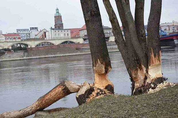 """Bobry rozpoczęły """"wycinkę"""" drzew w Gorzowie"""