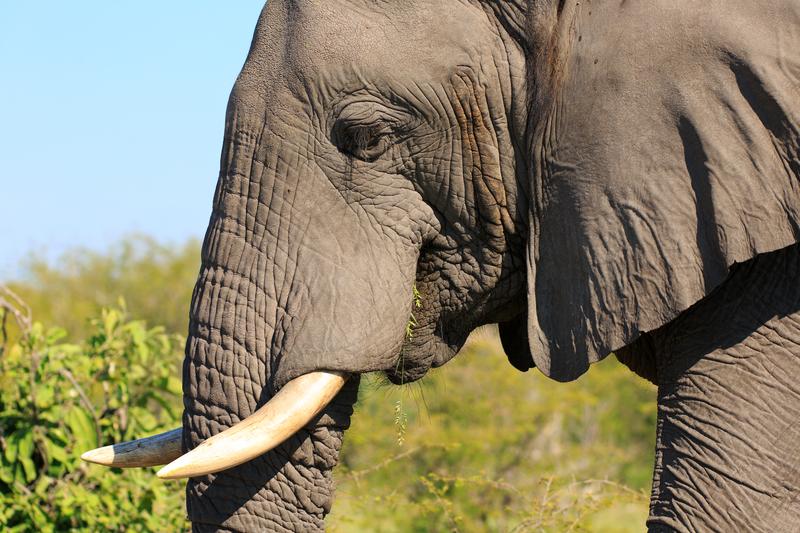 Brawurowa ucieczka słonia – trwają poszukiwania