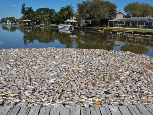 Setki tysięcy martwych ryb we florydzkich wodach