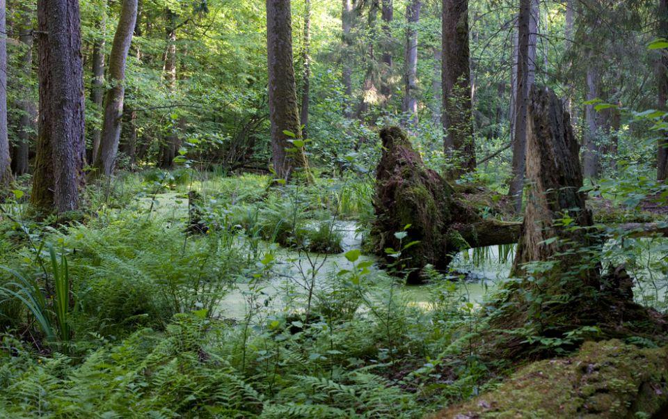 Dyrektor generalny Lasów Państwowych anuluje decyzję o usuwaniu drzew w Puszczy Białowieskiej