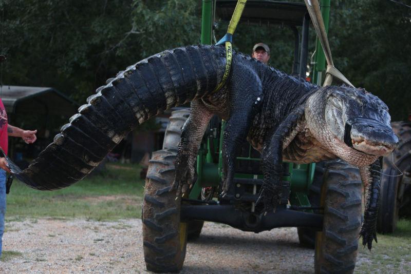 Olbrzymi aligator złapany na Florydzie