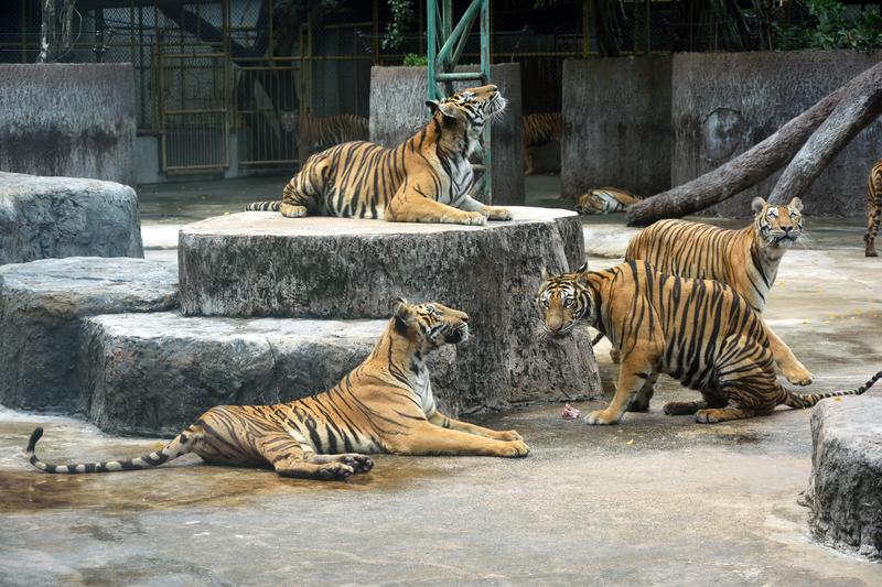 Rozszarpana opiekunka tygrysów nie przestrzegała przepisów