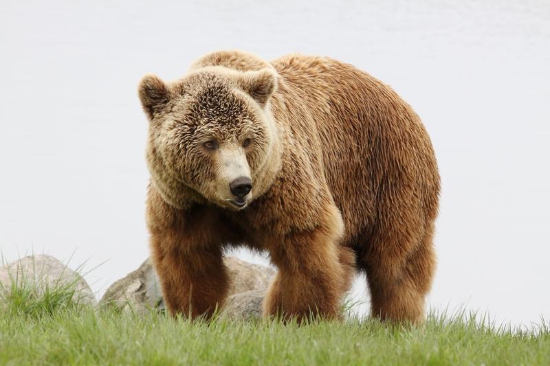 Niedźwiedź spacerował przy szkole w czasie lekcji