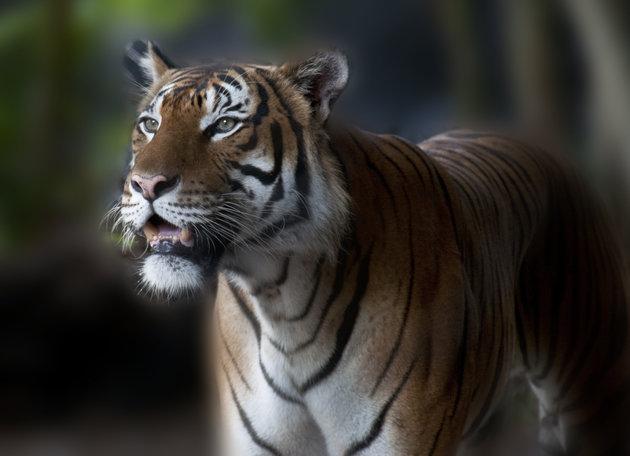 Groźby pod adresem tygrysa po tragedii w zoo