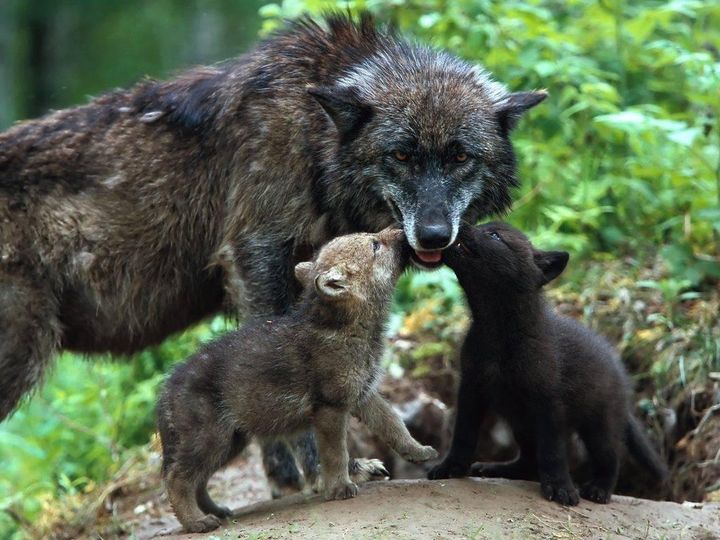 Małe wilczki urodzone w Brookfield ZOO wychowają się na wolności w stadzie zastępczym