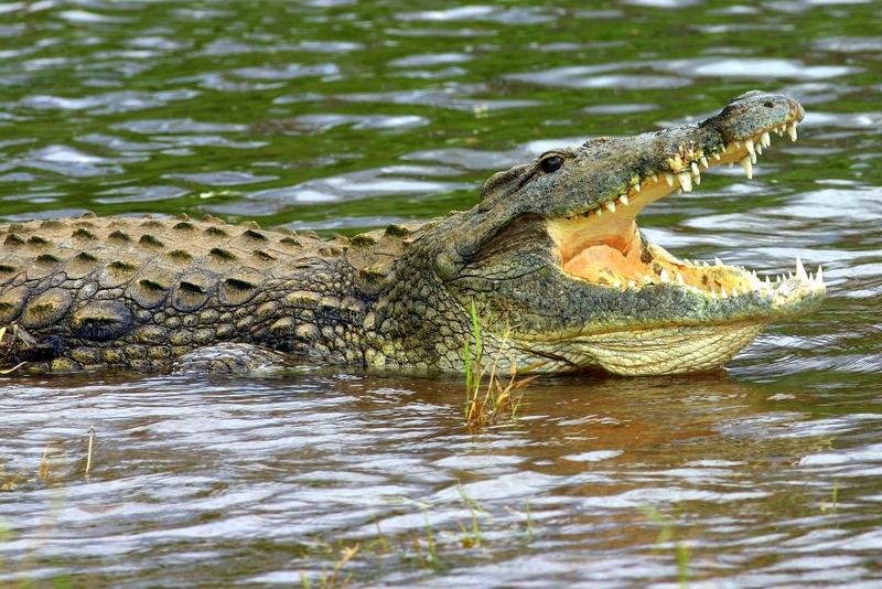 Krokodyl na plaży na Florydzie