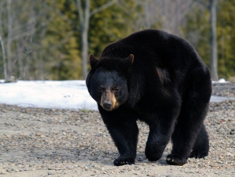 W Wisconsin niedźwiedź grasował w miasteczku. Udało się go złapać