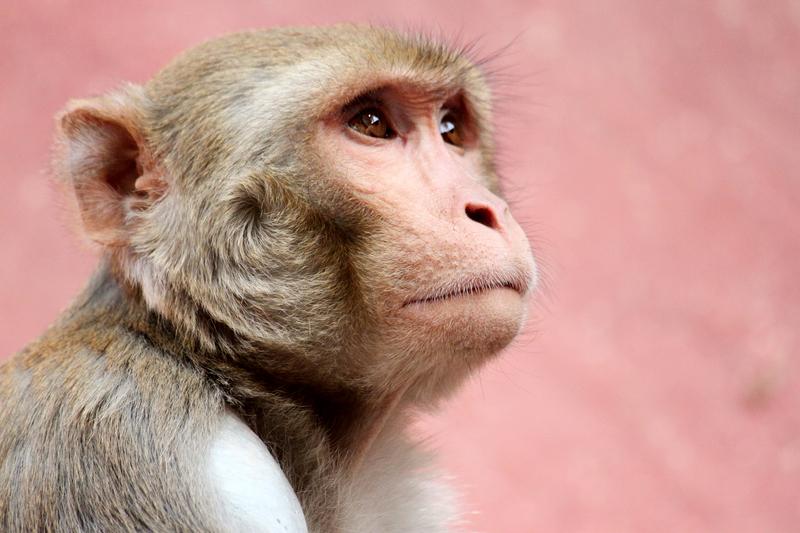 Małpa w pielusze zaatakowała kobietę