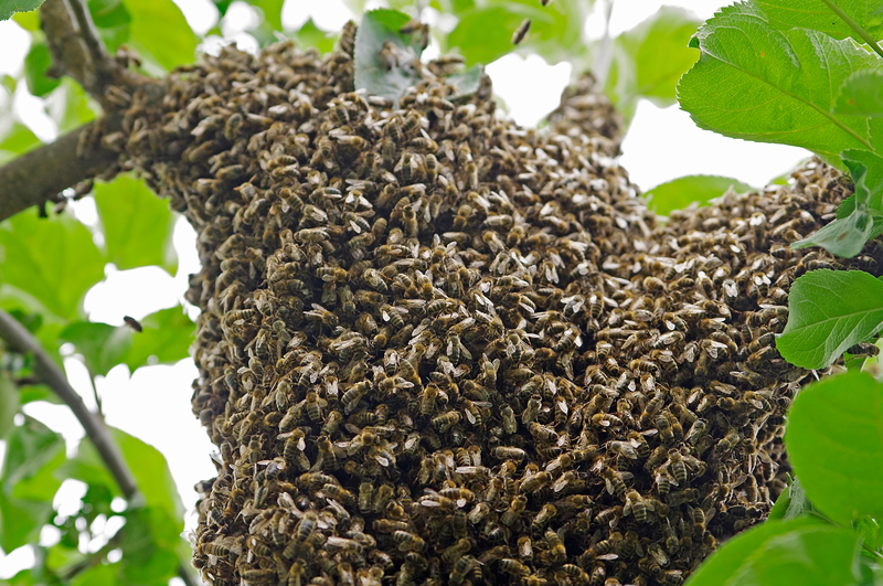 W Polsce aż połowa z około 470 gatunków pszczół jest zagrożona wyginięciem