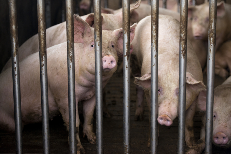 Operator rzeźni ukarany za niehumanitarne zabijanie świń