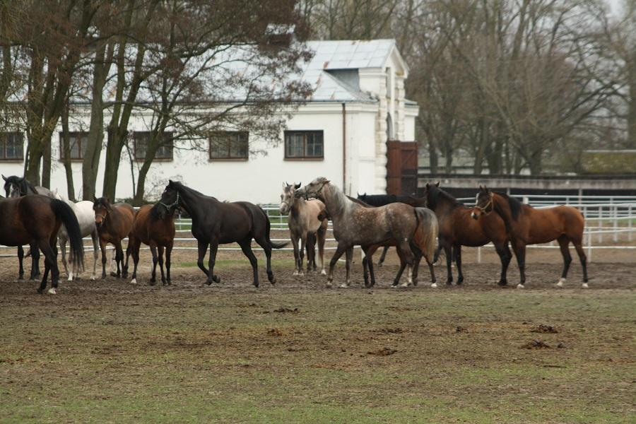 Prestiżowa aukcja koni arabskich w Janowie Podlaskim