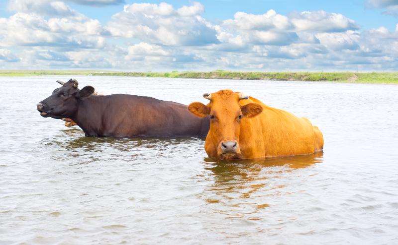 """Prezydent Duda zabrał głos w sprawie zdziczałych krów. """"Polak potrafi! Trzymamy kciuki za stado z Deszczna"""""""