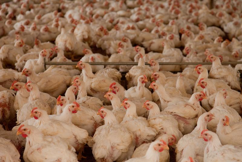 Polskie kurczaki trafią do sprzedaży w RPA