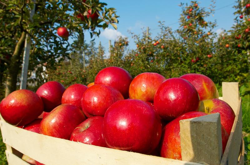 Polskie jabłka walczą z rosyjskim embargiem