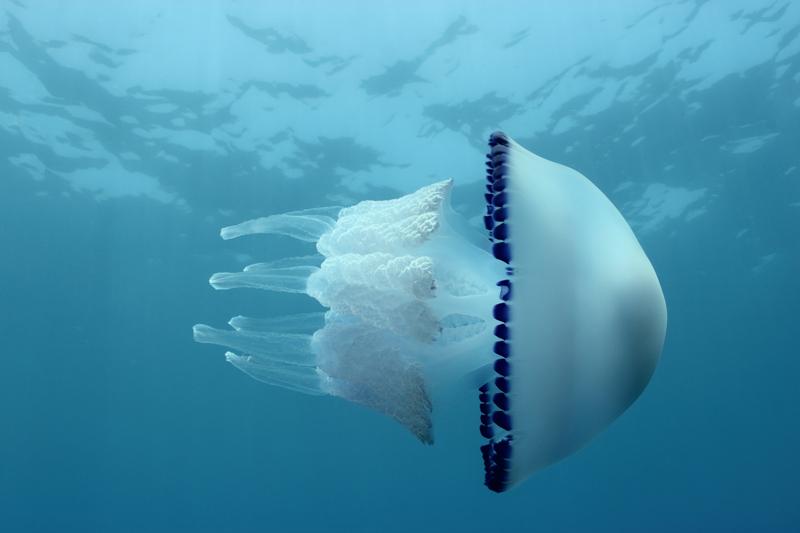 Niebezpieczne gatunki meduz pojawiły się w Morzu Śródziemnym