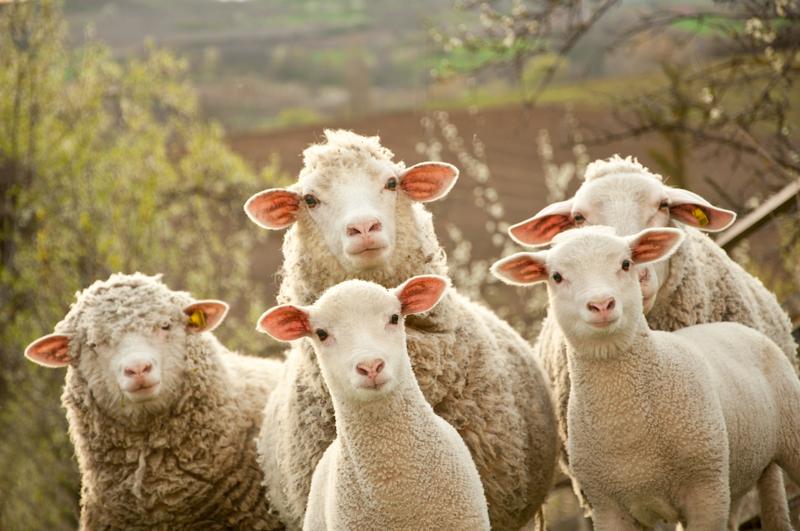 """Akcja """"Przywracamy owce Karpatom"""""""