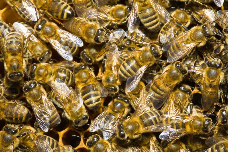 W USA umiera coraz więcej ludzi z powodu użądlenia pszczoły czy osy