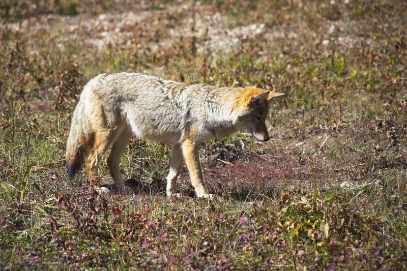 Właściciele psów powinni uważać na kojoty