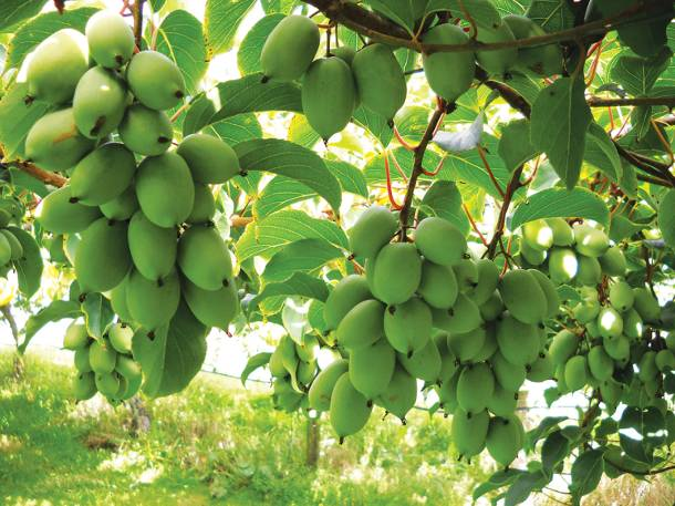 Minikiwi – nowy hit zdrowego odżywiania