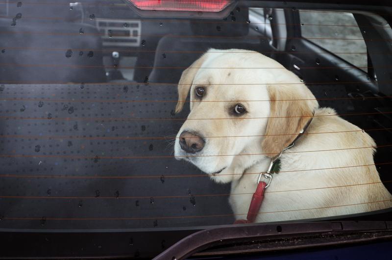 Mieszkańcy Kalifornii mogą bez obaw ratować zwierzęta z zamkniętych samochodów