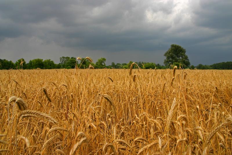 Straty rolników bliskie miliarda złotych