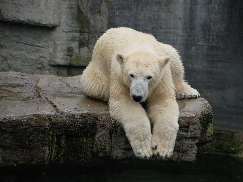 W Lincoln Park Zoo uśpiono niedźwiedzicę polarną