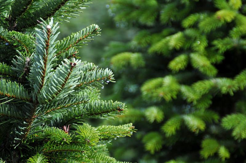 Wybrano oficjalne drzewko świąteczne stanu Michigan